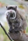 Πίθηκος Tamarin αυτοκρατόρων Στοκ Φωτογραφίες