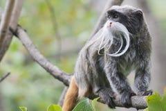 Πίθηκος Tamarin αυτοκρατόρων Στοκ εικόνα με δικαίωμα ελεύθερης χρήσης