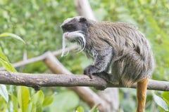 Πίθηκος Tamarin αυτοκρατόρων Στοκ φωτογραφία με δικαίωμα ελεύθερης χρήσης