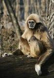 Πίθηκος Tamarin Στοκ εικόνες με δικαίωμα ελεύθερης χρήσης