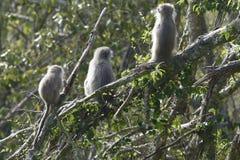 Πίθηκος Vervet, Νότια Αφρική Στοκ φωτογραφία με δικαίωμα ελεύθερης χρήσης