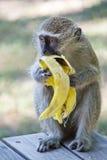 Πίθηκος Vervet που τρώει την μπανάνα Στοκ εικόνα με δικαίωμα ελεύθερης χρήσης