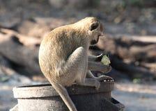 Πίθηκος Vervet σε έναν trashcan στοκ φωτογραφία με δικαίωμα ελεύθερης χρήσης