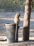 Πίθηκος Vervet σε έναν trashcan στοκ φωτογραφίες