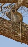 Πίθηκος Vervet στην Τανζανία Στοκ εικόνα με δικαίωμα ελεύθερης χρήσης