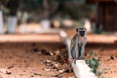 πίθηκος vervet Στοκ φωτογραφία με δικαίωμα ελεύθερης χρήσης