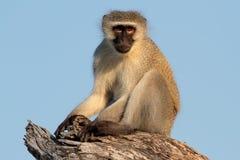 Πίθηκος Vervet Στοκ εικόνα με δικαίωμα ελεύθερης χρήσης