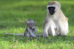 Πίθηκος Vervet στοκ εικόνες