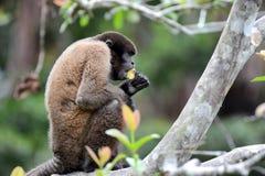 πίθηκος woolly στοκ εικόνες με δικαίωμα ελεύθερης χρήσης