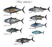 Πίνακας σημαντικών ειδών ψαριών τόνου που απομονώνονται στο άσπρο υπόβαθρο απεικόνιση αποθεμάτων