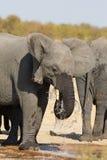 Πίνοντας και καταβρέχοντας νερό ελεφάντων την ξηρά και καυτή ημέρα Στοκ Εικόνα