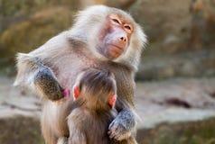 Πίνοντας παιδί πίθηκων γάλακτος Στοκ Εικόνες