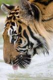 πίνοντας τίγρη Στοκ Εικόνες