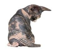 Πίσω άποψη ενός γατακιού Sphynx που απομονώνεται στο λευκό στοκ φωτογραφία με δικαίωμα ελεύθερης χρήσης