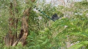 Πίσω άποψη της συνεδρίασης siamang στο ledder μεταξύ των δέντρων απόθεμα βίντεο