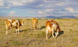 Πίσω άποψη των άσπρων και καφετιών ή κόκκινων αγελάδων που βόσκουν στο λιβάδι στοκ εικόνα