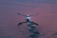 Πίσω άποψη seagull που περπατεί, με τα βήματα και τους παφλασμούς στο κυματισμένο νερό Στοκ Εικόνες