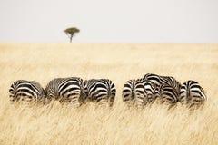 Πίσω άποψη Zebras σε μια σειρά Στοκ εικόνα με δικαίωμα ελεύθερης χρήσης