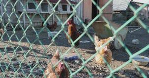 Πίσω από τα κάγκελα ο κόκκορας και η κότα στο κοτέτσι απόθεμα βίντεο