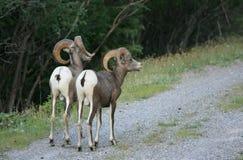 πίσω από τα πρόβατα δύο στοκ εικόνες