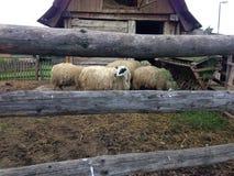 πίσω από τα πρόβατα φραγών Στοκ Εικόνες