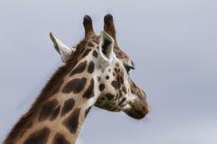 πίσω από giraffe Στοκ Εικόνες