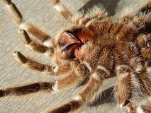 Πίσω δέρμα Tarantula στο πάτωμα Στοκ Εικόνες