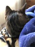 Πίσω επικεφαλής πυροβολισμός της αρσενικής γάτας στοκ εικόνες