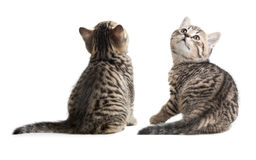 Πίσω και πλάγια όψη γατών Συνεδρίαση γατακιών που απομονώνεται στο λευκό Στοκ φωτογραφία με δικαίωμα ελεύθερης χρήσης