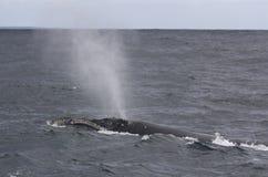 Πίσω μιας νότιας σωστής φάλαινας που κολυμπά κοντά στο Hermanus, δυτικό ακρωτήριο διάσημα βουνά kanonkop της Αφρικής κοντά στο γρ στοκ εικόνες