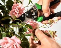 Πίσω νεκρά λουλούδια περικοπής κηπουρών σε έναν ροδαλό θάμνο Στοκ εικόνες με δικαίωμα ελεύθερης χρήσης