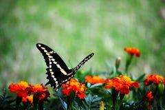 Πίσω πλευρά Swallowtail Στοκ Φωτογραφίες
