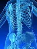 πίσω σκελετικός Στοκ Φωτογραφία