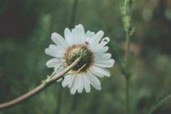 Πίσω της Daisy πίσω από τα λουλούδια μαργαριτών ενάντια στο πράσινο τοπίο στοκ εικόνες
