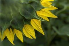 Πίσω του κίτρινου ηλίανθου στο πράσινο υπόβαθρο Στοκ εικόνες με δικαίωμα ελεύθερης χρήσης