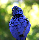Πίσω φτερά ενός λουλακιού macaw Στοκ Φωτογραφίες