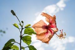 Πίσω φως hibiscus Στοκ εικόνα με δικαίωμα ελεύθερης χρήσης