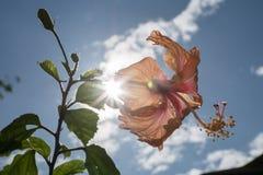 Πίσω φως hibiscus Στοκ φωτογραφία με δικαίωμα ελεύθερης χρήσης