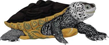 Πίσω χελώνα Diamon Στοκ Εικόνες