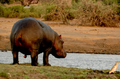 Πίσω Hippopotamus Στοκ Εικόνες