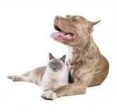 Πίτμπουλ και μια γάτα Στοκ Φωτογραφία