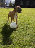 παίζοντας ποδόσφαιρο σκυλιών Στοκ φωτογραφία με δικαίωμα ελεύθερης χρήσης