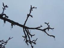 Παγάκια σε ένα δέντρο Στοκ Φωτογραφίες