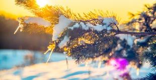 Παγάκια στον κλαδίσκο πεύκων Στοκ εικόνες με δικαίωμα ελεύθερης χρήσης