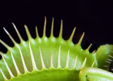 παγίδα Αφροδίτη μυγών Στοκ φωτογραφία με δικαίωμα ελεύθερης χρήσης
