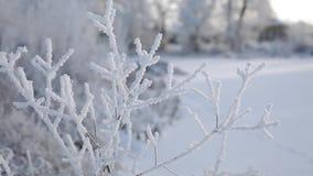 Παγετός-καλυμμένος κλάδος ενός θάμνου φιλμ μικρού μήκους