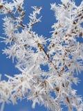 Παγετός σε έναν κλάδο. στοκ φωτογραφίες