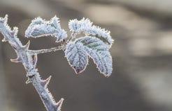 Παγετός στο φύλλο και το μίσχο βατόμουρων Στοκ εικόνες με δικαίωμα ελεύθερης χρήσης