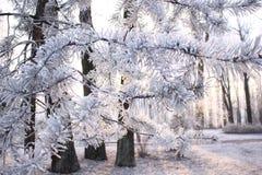 Παγετός τα δέντρα του δασικού ίχνους πάρκων Στοκ Εικόνες