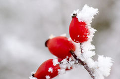 Παγετός Hoar στα ροδαλά ισχία Στοκ Φωτογραφία